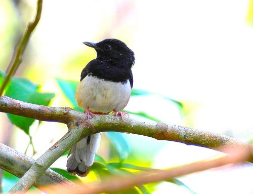 Andaman Island Birding Expedition