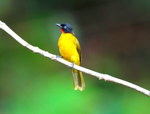 Ultimate India Birding Tour 27 Days
