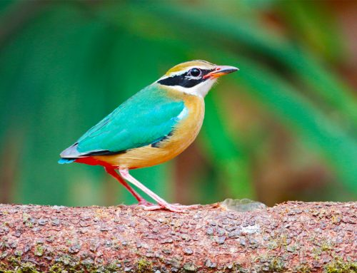 South India : Birds & Beyond